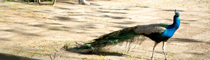 pavo real comportamiento masculino